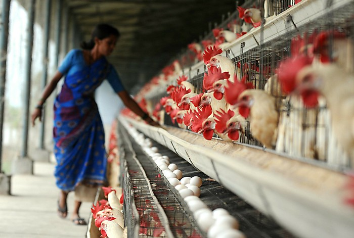 Introduction to the Poultry Industry in India